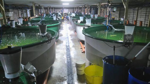 Dorset Cleaner Fish Nursery
